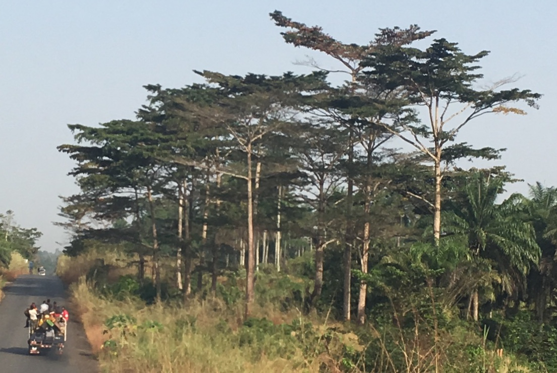 Quelques grands arbres survivent encore
